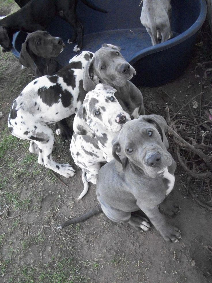 Great+Dane+Puppies+Harlequin+Blue+Ready+Now+Doncaster
