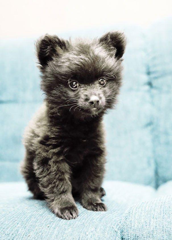 15 Perros Que Parecen Ositos De Peluche