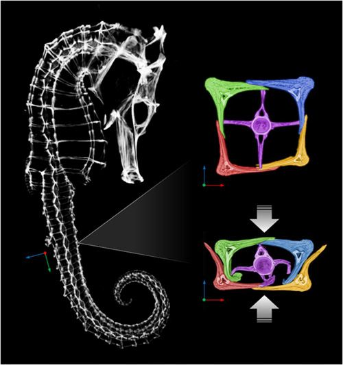 Seahorse's Armor Gives Engineers Insight Into Robotics Designs The tail of a seahorse can be compressed to about half its size before permanent damage occurs, engineers at the University of California, San Diego, have found. The tail's exceptional flexibility is due to its structure, made up of bony, armored plates, which slide past each other.  Researchers are hoping to use a similar structure to create a flexible robotic arm equipped with muscles made out of polymer, which could be used in…
