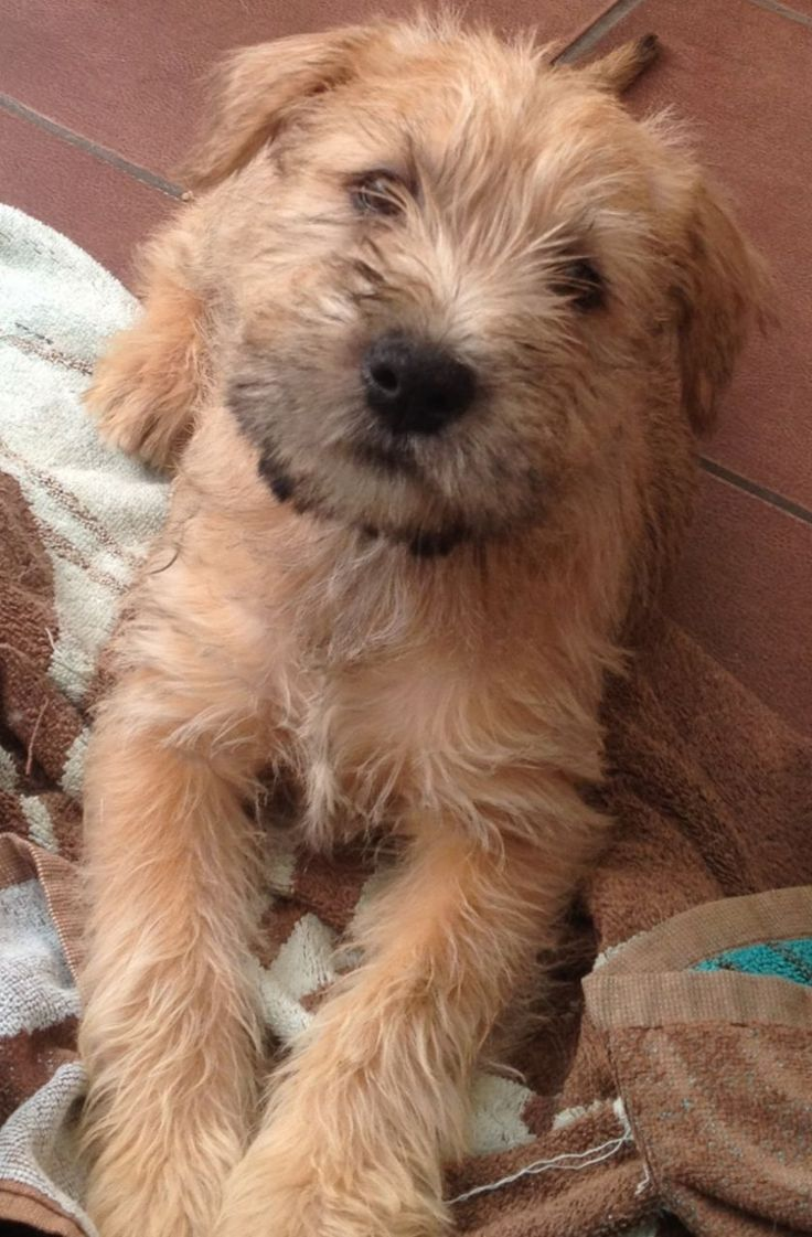 Soft coated wheaton terrier photo | Soft Coated Wheaten Terrier (Irish Wheaten) | Bridgend, Bridgend ...