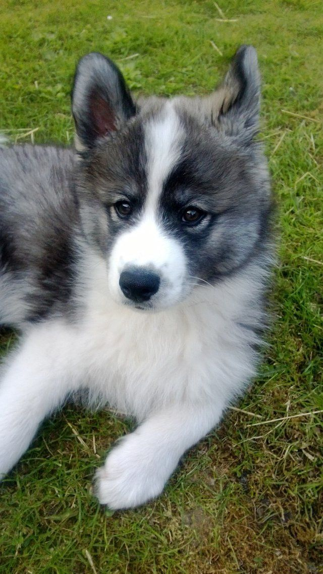 Samoyed-Siberian Husky mix pup. I WANT ONE OF THESE SO BAD. LOOK HOW FLUFFY  AND ADORABLE IT IS<3