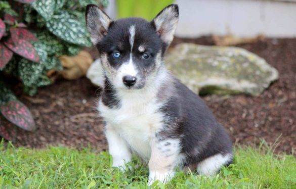 All About Corgi Husky Mix Puppies Horgi Siborgi Cross Breed Corgi Mix Breeds Corgi Husky Mix Corgi Husky Husky Mix