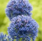 Allium caeruleum Position: full sun  Soil: fertile, well-drained soil  Rate of growth: average  Height: 60 cm  Flowering period: June to July  Flower colour: bright blue  Other features: narrow, mid-green leaves  Hardiness: fully hardy