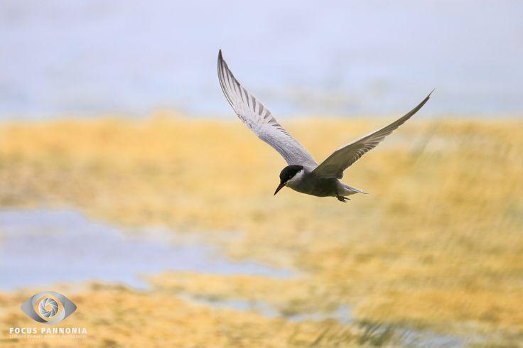 Whiskered Tern Weissbart Seeschwalbe | Whiskered Tern | Chlidonias hybrida  It's always a challenge to photograph the whiskered terns in flight.  Enjoy watching and feel free to share and like the photo!  - - - - - - - - - -  Es ist immer wieder eine Herausforderung die Weissbart Seeschwalben im Flug abzulichten.   Viel Spaß beim Betrachten, Teilen und Liken des Fotos.