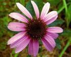 Echinacea y El Resfriado Común - Herboristeria Venta Tienda