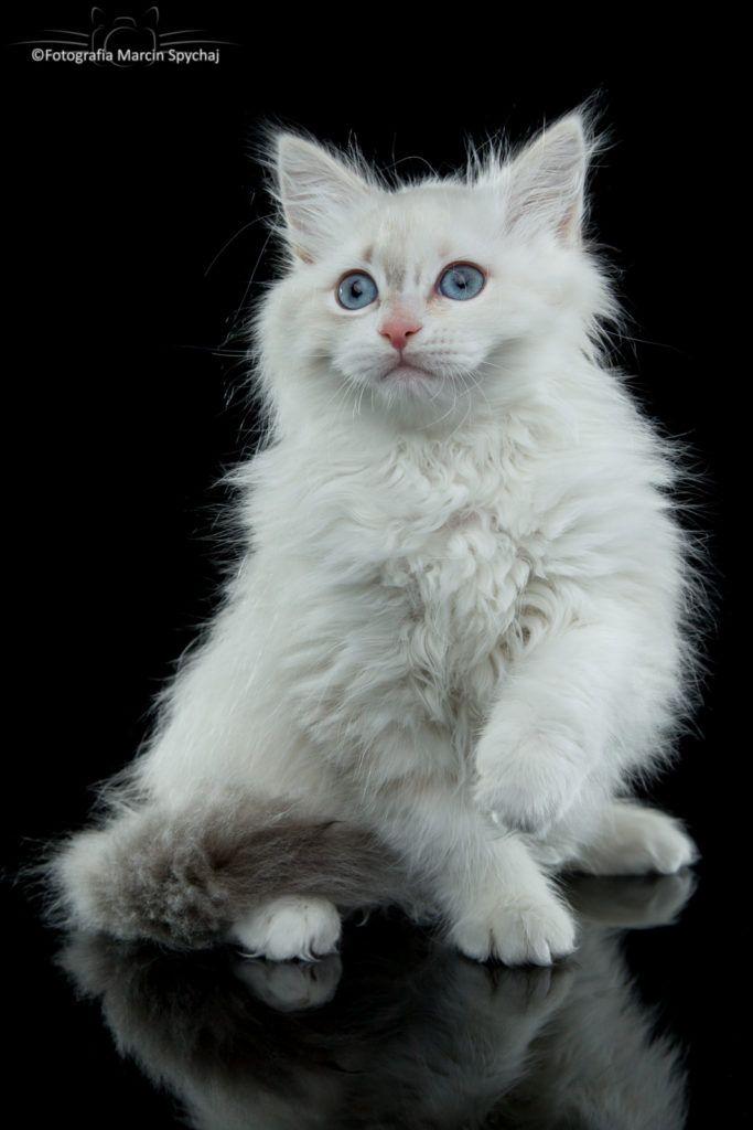GWIAZDA » Dzika Bestia | Mała Domowa Hodowla Kotów Syberyjskich Neva Masquerade, kitten neva, 11 weeks