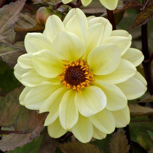 383 best dahlia images on pinterest | plants, pretty flowers and