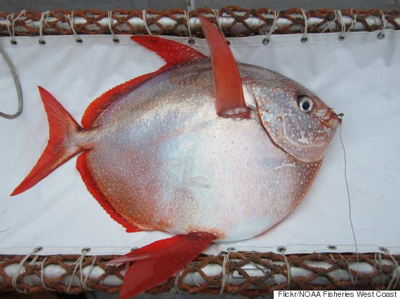The Opah Is The First Warm-Blooded Fish Ever Found 05/14/2015 05:42 pm ET | Updated May 19, 2015 A new study published in the journal Science has identified the world's first fully warm-blooded fish: the car tire-sized opah, or moonfish.