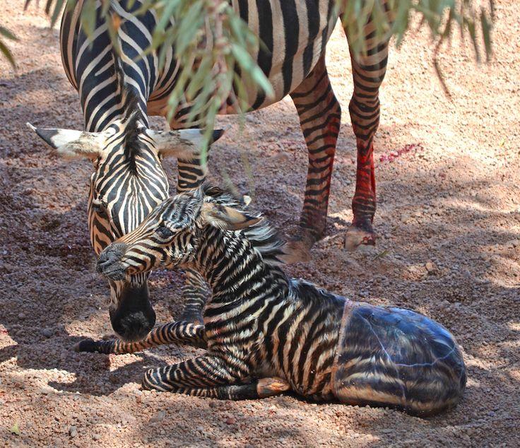 Nacimiento de una cría de cebra en el Bioparc