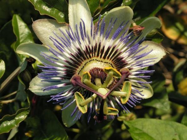 Quais são as propriedades da passiflora - 7 passos