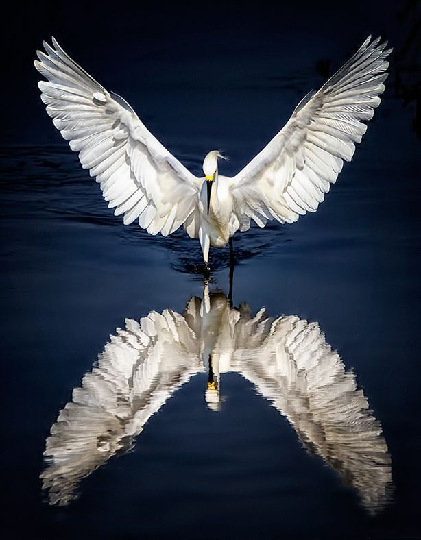 Icarus by Wendy of 500px. One of the most beautiful egret shots I've ever seen. (Pin-It button on her page)