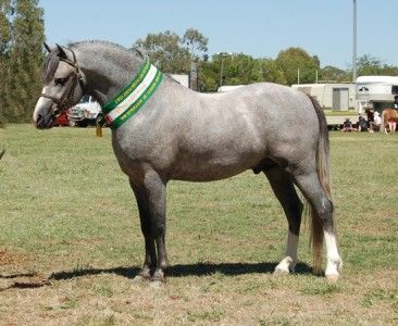 Welsh Pony | Welsh Mountain Pony - Les-Z-Animaux