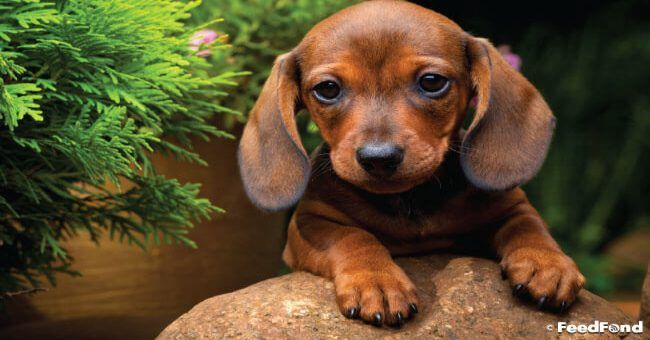 Dachshund Puppy Feeding Grooming Training Health Care Guide