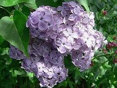 Lilac varieties for the south
