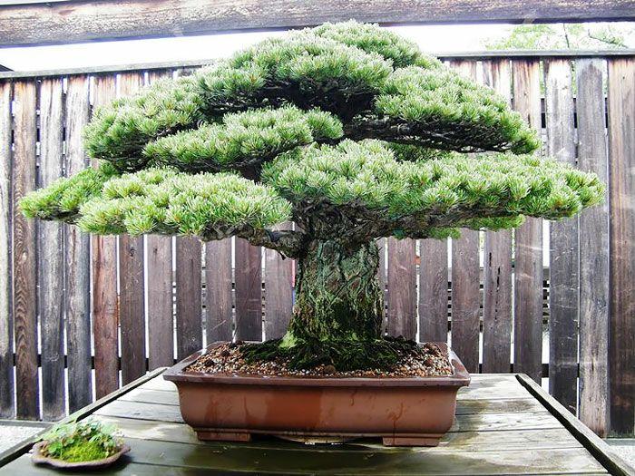20 der sch nsten bonsai b ume als inspiration im fr hling bonsai pinterest. Black Bedroom Furniture Sets. Home Design Ideas
