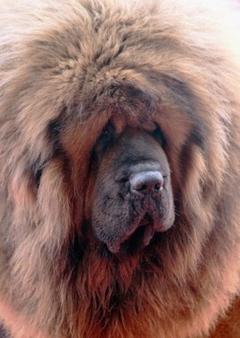 """""""Tibetan Mastiff: One of these puppies can cost you an average of $2,000 to $3,000. But over in China, where this breed is the ultimate status symbol the Tibetan Mastiff is worth more than most houses. In fact, a breeder in China told the Telegraph that he recently sold a premier puppy from one of his litters for 10 million yuan (that's a whopping one-point-five million dollars, for those who are slow on yuan to dollar conversion), making this breed the most expensive of any in the world."""""""