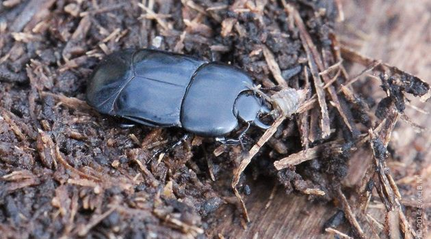 В Воронежском заповеднике появились жуки, обитающие только в Новоусманском районе
