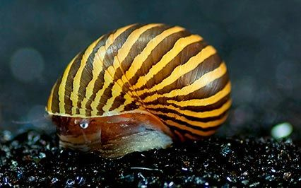 Nerite Snail Eggs, Care, Algae Eating, Tips and Lifespan [All About Nerite Snails]