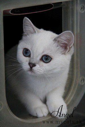 Britské mačky a mačiatka of Silver Legend | www.mycats.sk