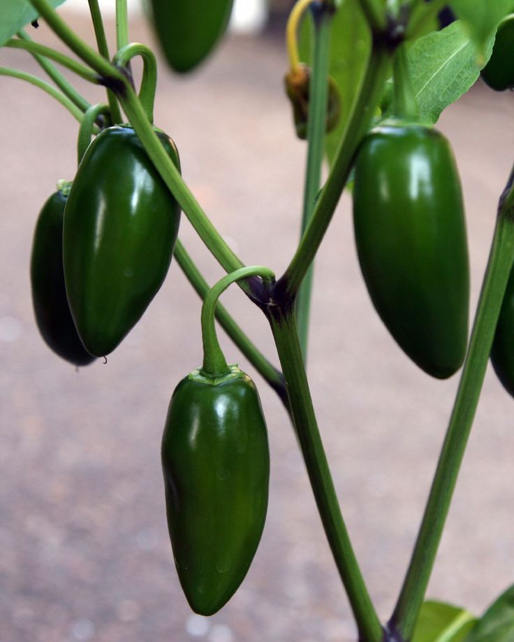 Jalapenos are the only pepper that is not allowed to fully ripen and change color before being picked. Growing jalapeno peppers is not difficult if you provide plants with proper conditions. Learn more in this article.