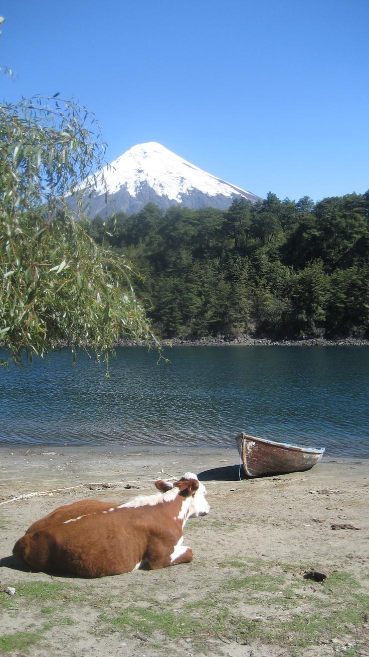 ohhhhh mi querido Petrohué...que foto más linda, bote y una vaca ....<3