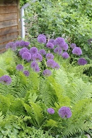 Allium with ferns/We can do this in zone 3.