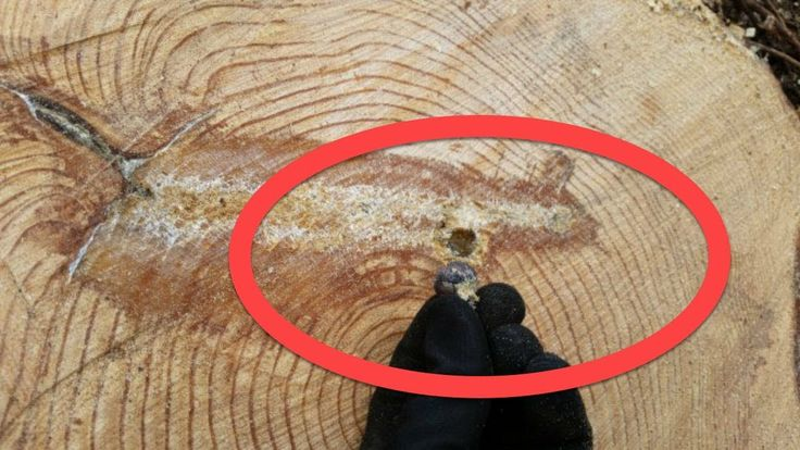 Lumberjacks pulled out one small piece of what appeared to be warped metal Inside A Tree !