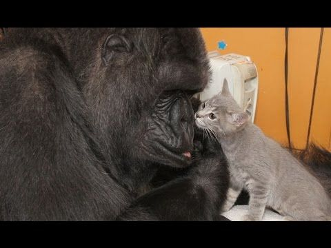 Koko the sign-language speaking gorilla has adopted two kittens | News Videos | Video | The Independent