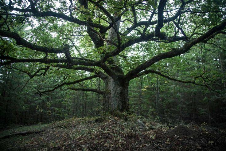 Paavolan Tammi/ Oak of Paavola, Finland's most beautiful tree