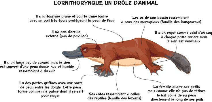 L'ornithorynque, un drôle d'animal ! - Véritable casse-tête scientifique... et orthographique, l'ornithorynque est un peu canard, loutre mais aussi reptile, coq et kangourou. Vous allez tout comprendre en lisant cet article.
