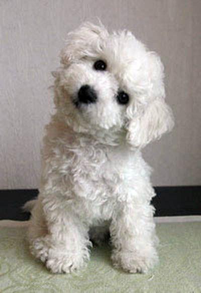Bichon Frise puppy                                                                                                                                                                                 Más
