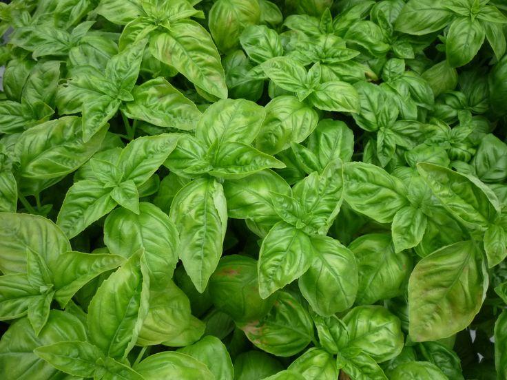 A bazsalikom hihetetlenül illatos, aromás fűszer- és gyógynövény. Egyetlen valamirevaló kiskertből sem hiányozhat. Termesztését mindenkinek ki kell próbálni. Elvethetjük kis edénybe, és nevelhetjük a konyhaablakban is. Aki teheti, az utolsó fagyok elmúltával ültesse kertje legnaposabb pontjára. http://kertlap.hu/bazsalikom/