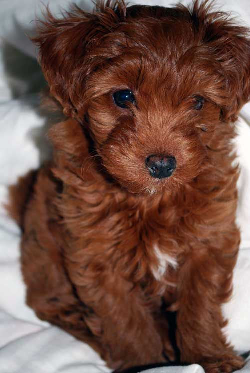 OMG i want ! Toy Labradoodle I am in love with this breed of dogs <3