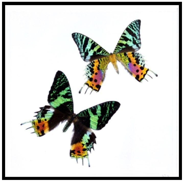 "Acrylic Display Box - 2 Sunset Moths - 8"" X 8"" - #90008-02"
