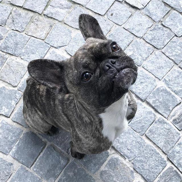 French Bulldog Full Grown Frenchbulldogfullgrown French Bulldog