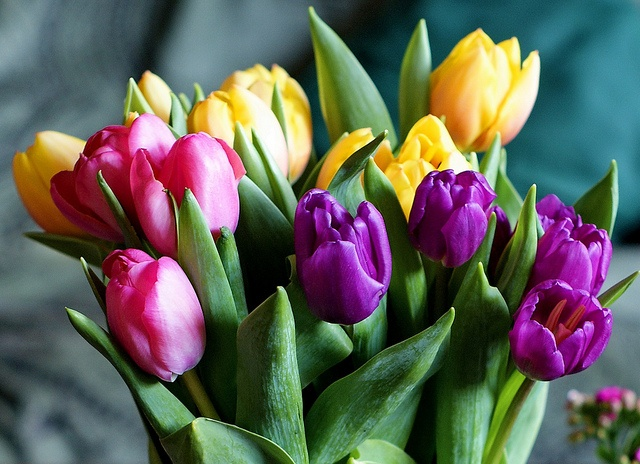 tulips purple pink yellow