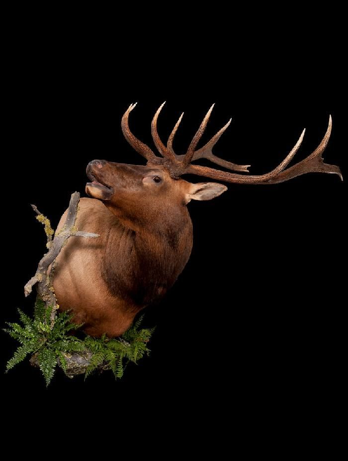 100 Ideas To Try About Elk Mounts Aspen Trees