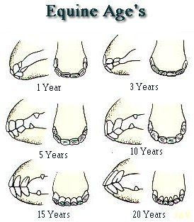 Equine's age by its teeth