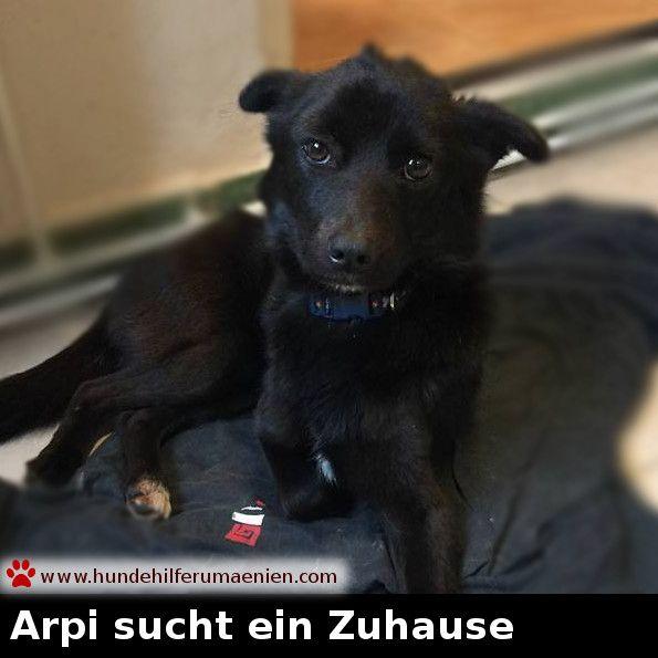 ️ Arpi sucht ein Zuhause    Geboren ca. 2015 2016 Arpi wurde außerhalb einer Stadt suchend nach Futter gefunden. Als er eine menschliche Stimme hörte kam er sofort um etwas Essbares und Zuwendung zu bekommen. Der kleine Mann war sehr dünn und hatte eine kleine Verletzung unter seinem Kiefer. Wir schätzen ihn auf 1-2 Jahre, er wiegt 6kg. Auf seiner Pflegestelle genießt er die Zuwendung seiner Familie und freut sich über ihre Aufmerksamkeit. Andere Hunden und Kat