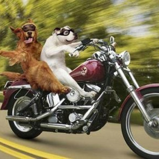 26 best images about Biker Dogs on Pinterest   Chihuahuas ...