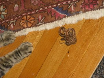 One of Casimir's many snakes.  He brings most of his snakes to the dining room - and they are almost always still alive.  Eeeeekkk!