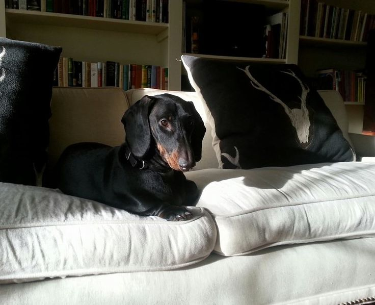 This is Millie, she's a female standard smooth coat dachshund, 1 year old...please vote for her!