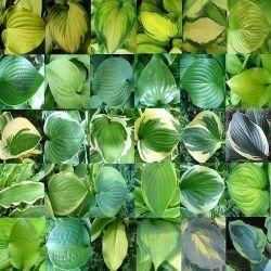 How to Plant Hostas