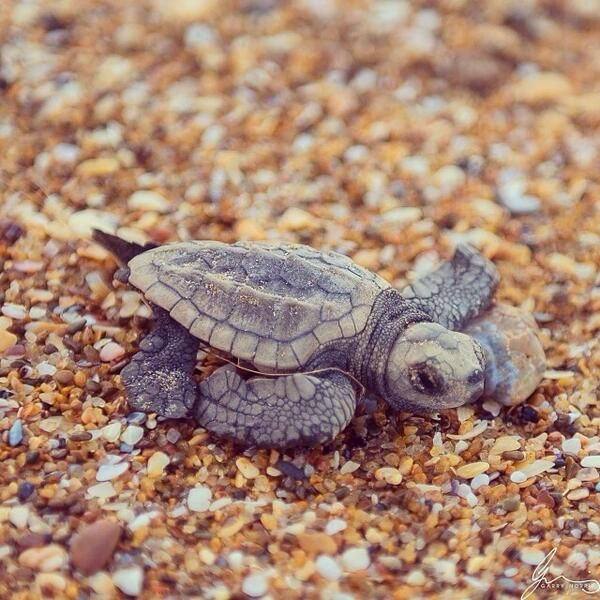 Hatchling on it's way to the sea in Bundaberg, Australia Queensland