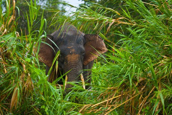 Borneo pygmy elephants are one of the world's rarest elephant species. | Science | Smithsonian