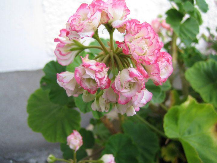 geranium: apple blossom rosebud