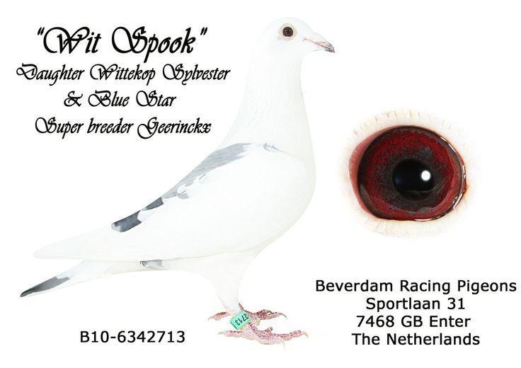 Bart, Luc and Jurgen Geerinckx | Herman Beverdam Racing Pigeons