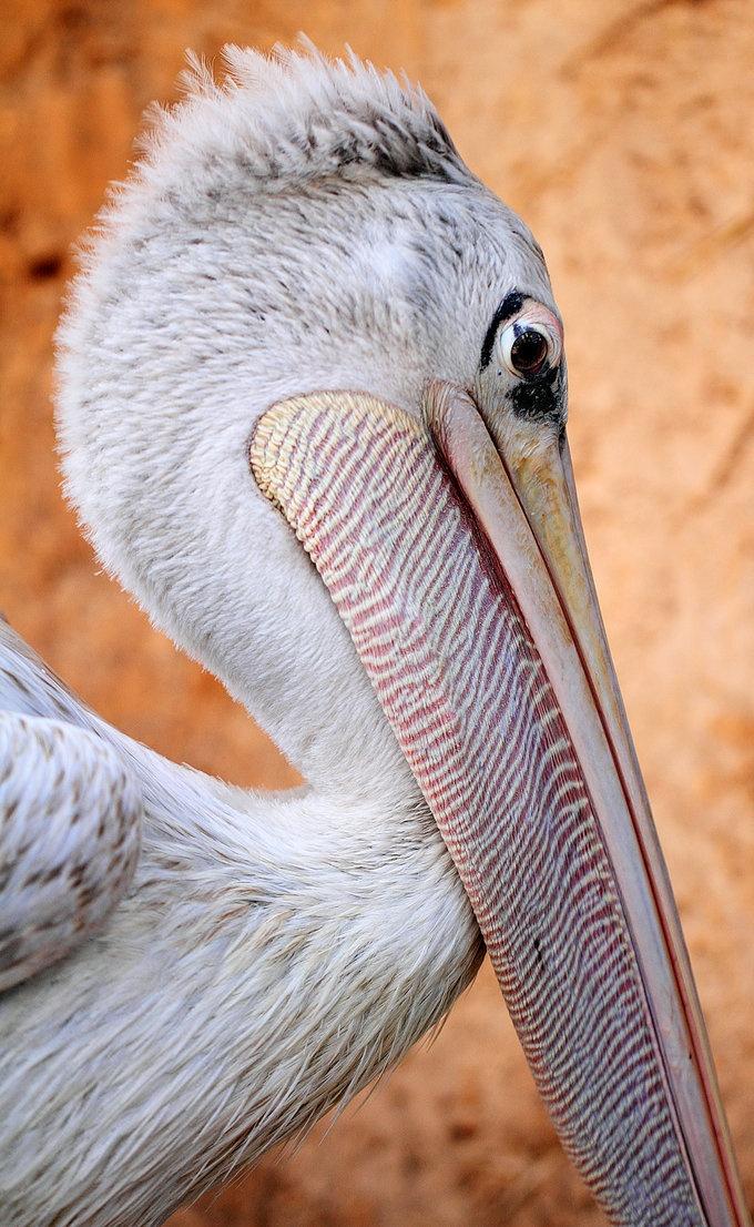 whatever: Photos, Inspiration Art, God Creatures, Pelican, Mothers Natural, Animal