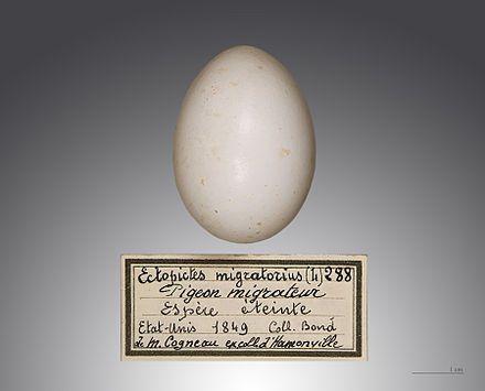 Passenger Pigeon (Ectopistes migratorius) Egg. Muséum de Toulouse,  France. - LOVE this script