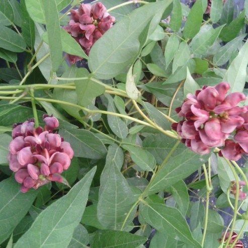 Légumes perpétuels - Glycine tubéreuse